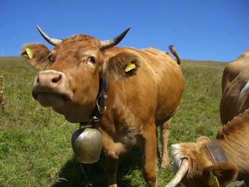cow 245690 640