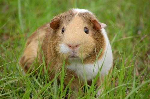 guinea pig 242520 640