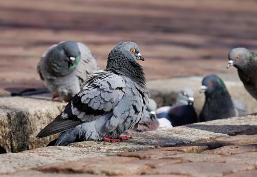 pigeons 3268990 640