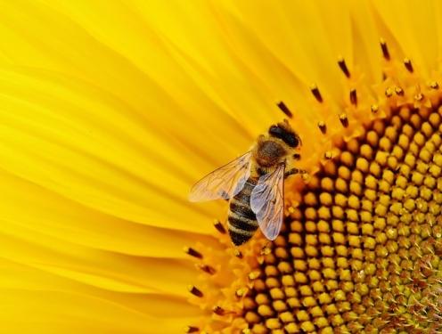 Biene - Sonnenblume