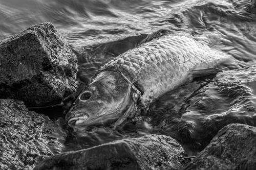 Fisch tot