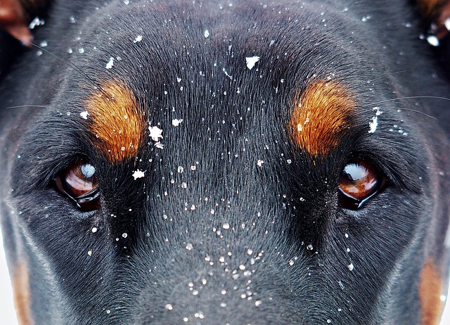 Hund Dobermann