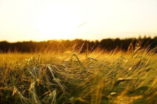 barley-1117282 640