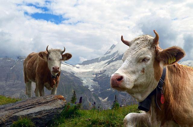 cow 1644108 640