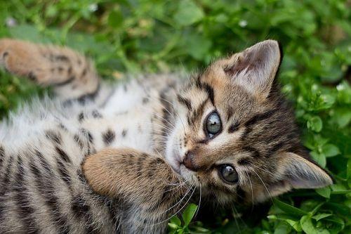 tabby-kitten-1517475 640